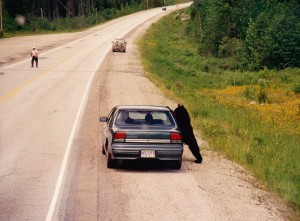 Surreal... real live brown bear leaning on this car, fellow on the road is game as bear can oujtrun humans!