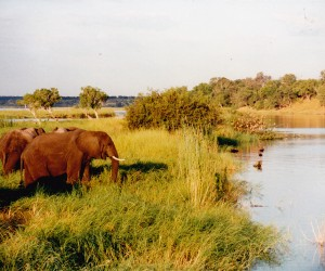 ELEPHANATS GOING FOR BATH CHOBE RIVER as painted
