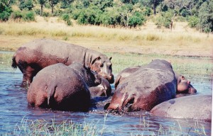 Hippo's on Chobe River 'Up close and very personal'