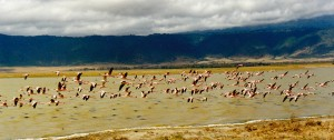 Pink flamingo on the Soda lake in the crater