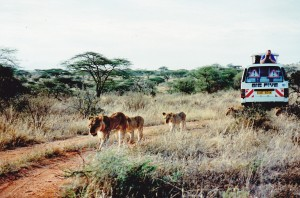 Samburu lions in single file watched over by our group