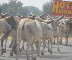 Cattle along the road